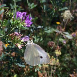 Ein weiterer gerne gesehener Gast bei unserer Kräuterführung: Ein Schmetterling
