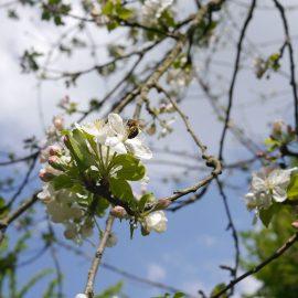 Hoch in einem Baum nascht eine Biene von einer Blüte, im Hintergrund ein herrlicher blau-weißer Himmel
