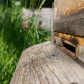 Eine Biene düst in ihr Zuhause den Bienenstock zurück und setzt zur Landung an, das Fahrwerk ist bereits ausgefahren