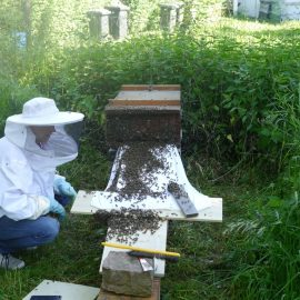 Ein ganz außergewöhnliches Schauspiel: Tausende Bienen laufen durch das Flugloch in die Bienenkiste hinein