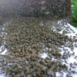 Der Bienenschwarm zieht zielstrebig Richtung Bienenkiste - der Einzug dauert fast eine Stunde