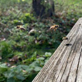 Einige Bienen fliegen - auf dem Foto wie eingefrohren - in ihr Zuhause, den Bienenstock zurück
