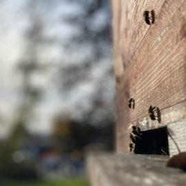 Im herbstlichen Licht bei warmen Temperaturen sitzen einige Bienen an der Bienenkiste und sonnen sich