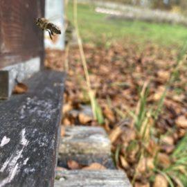 Eine Biene düst von einem Ausflug zurückkommend in das Flugloch hinein, zurück zu ihren Schwestern und der Bienenkönigin