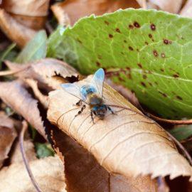 Eine einzelne Biene sitzt mitten im Herbstlaub auf einem Blatt, viele Details wie Beine und Flügel sind gut zu erkennen