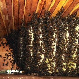 Die Bienenkiste der Essbaren Stadt von innen: Tausende von Bienen wuseln umher und pflegen Waben, Honig und Nachwuchs