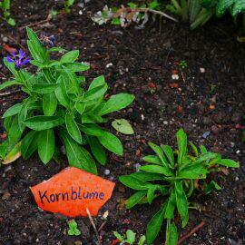 Schilder aus Ton mit Beschreibungen der Pflanzen, hier Kornblumen
